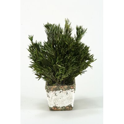 Preserved Buxifolia in Stonewar Planter
