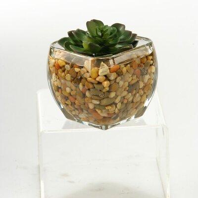 Echeveria in Glass Cube Size: Small 161087