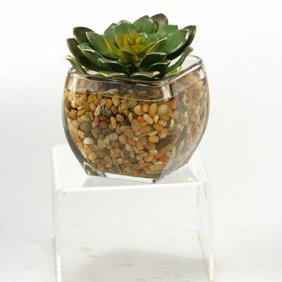 Echeveria in Glass Cube Size: Large 161090