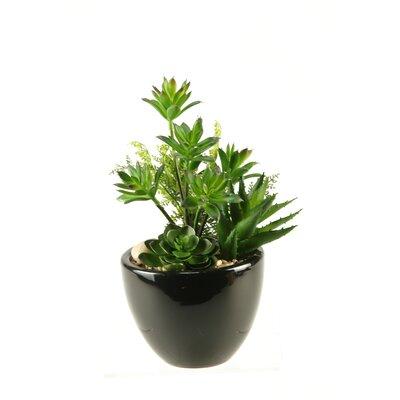 Mini Dracaena, Aloe and Echeveria Round Ceramic Floral Arrangements in Planter