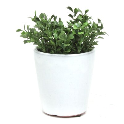 Boxwood Cup