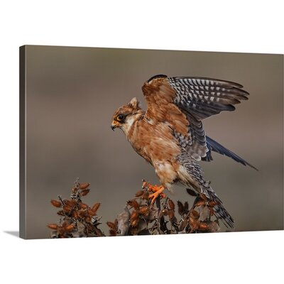 Red Foot Kestrel Female by Assaf Gavra Photographic Print on Canvas Size: 24