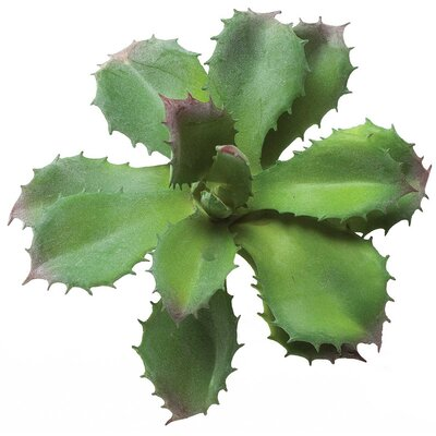 Star Agave Silk Succulent Plant M8951 DG