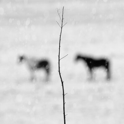 Limited Edition 'Winter Horses' Photographic Print 13242
