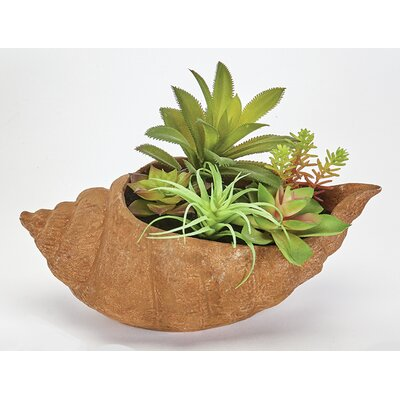 Succulent Plant in Shell Pot