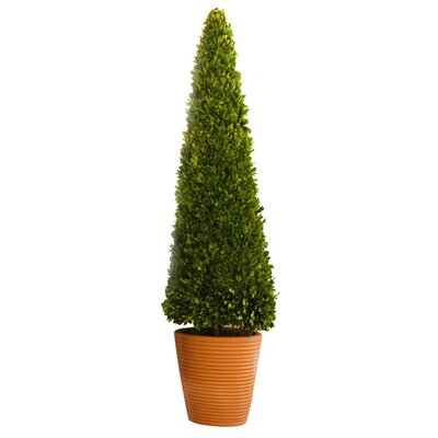 Boxwoods Cone Topiary in Pot Size: 58 H x 14 W x 14 D