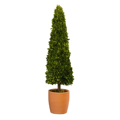 Boxwoods Cone Topiary in Pot Size: 35.5 H x 12 W x 12 D
