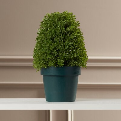 Eyre Boxwood Tree in Pot Size: 8.5