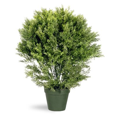 Juniper Globe Desk Top Plant in Pot Size: 36