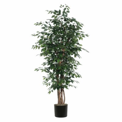 Fir Ficus Executive Tree in Pot