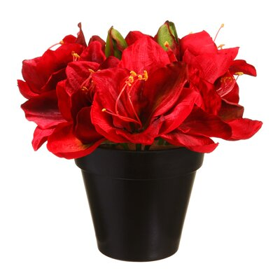 Alcott Hill Amaryllis in Plastic Pot