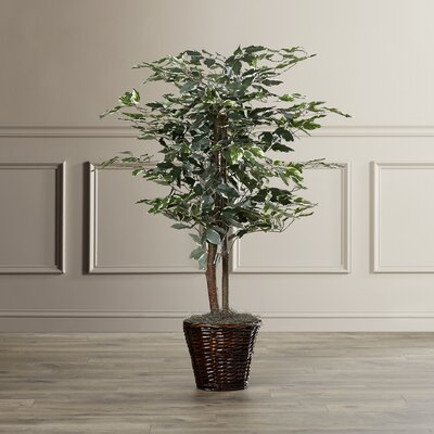 Alcott Hill Variegated Ficus Tree in Basket