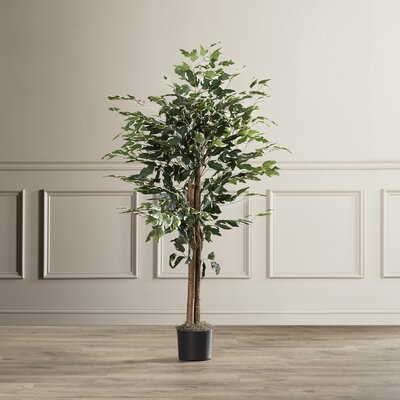 Variegated Bush Ficus Tree in Pot