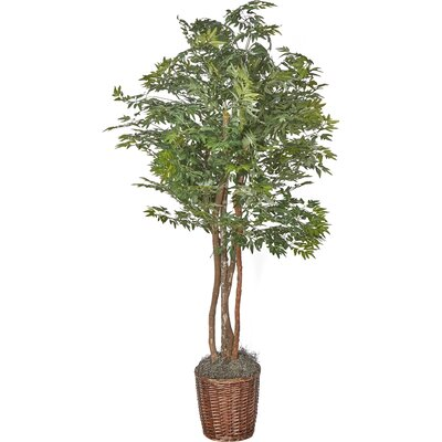Ming Aralia Floor Plant in Pot