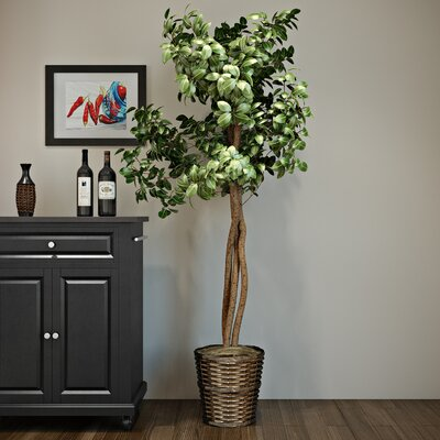 Ficus Heartand Floor Plant in Pot