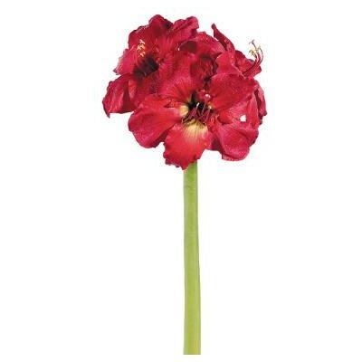 29 Amarylllis Blooms Stem