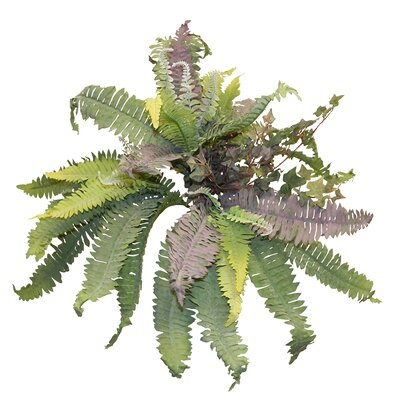 Boston Fern/Ivy Hanging Plant