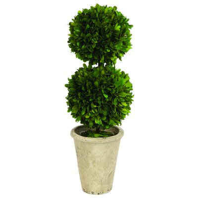 Double Ball Boxwood Round Tapered Topiary in Pot