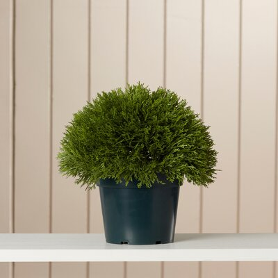 Adelina Bush Desk Top Plant in Pot