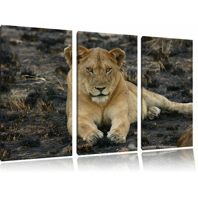 Lioness Relaxing on the Ground 3-Piece Photographic Print on Canvas Set