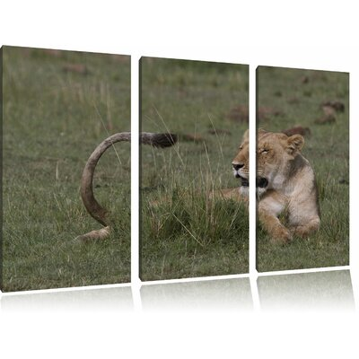 Lioness Relaxing in the Grass 3-Piece Photographic Print on Canvas Set.