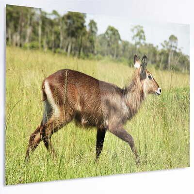 'Waterbuck Antelope in Green Grass' Photographic Print on Metal MT12586-28-12