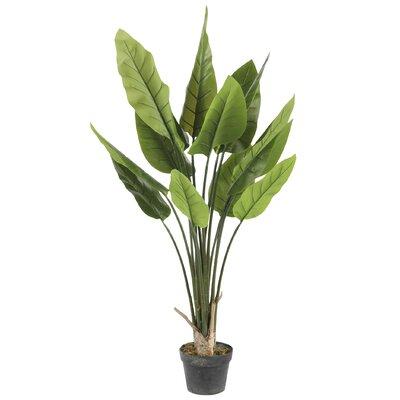 Canna Tree in Pot