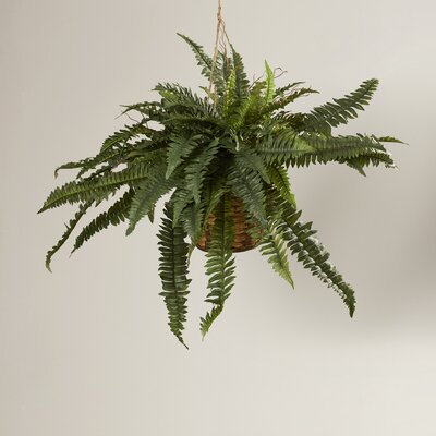 Boston Fern Hanging Plant in Basket