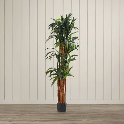 Dracaena Tree in Pot