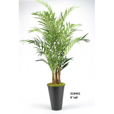 Kentia Palm Floor Plant in Planter