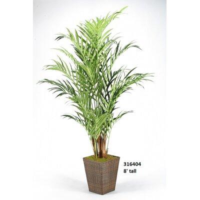 Kentia Palm Floor Plant in Planter