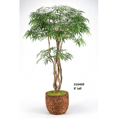 Finger Aralia Tree in Planter