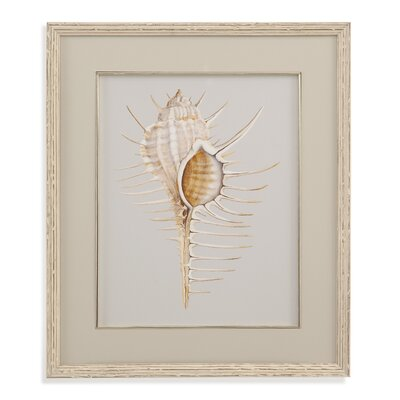 Spiny Murex Framed Painting Print