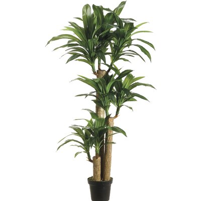 Tropical Dracaena Tree in Pot