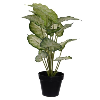 Caladium Palm Plant in Pot