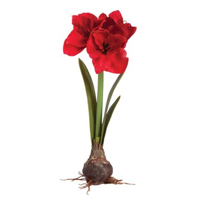 Amaryllis Bulb (Set of 2)