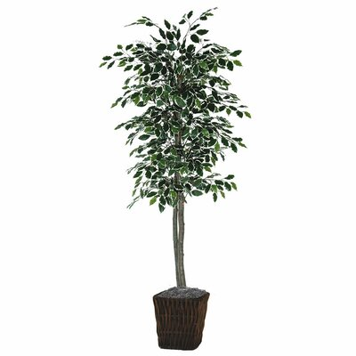 Varigated Ficus Tree in Square Willow