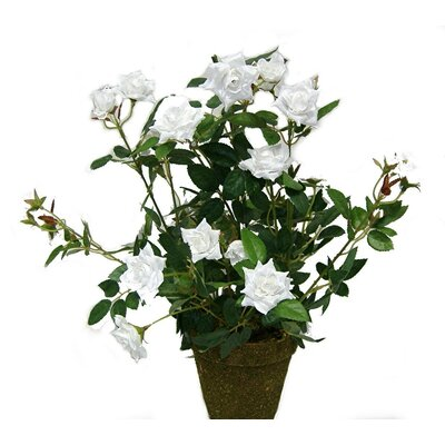 Tall Diamond Rose Bush in Plastic Pot