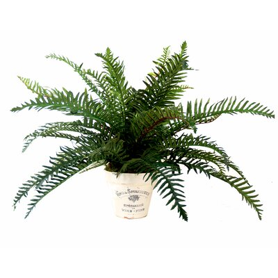 River Fern in Planter
