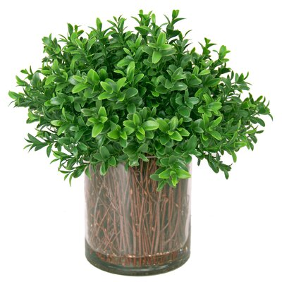 Boxwood Shrub in Planter