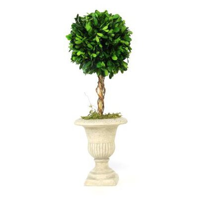 Preserved Boxwood Topiary Plant in Urn (Set of 2)