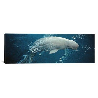 "'Close-up of a Beluga Whale in an Aquarium, Shedd Aquarium, Chicago, Illinois' Photographic Print on Canvas Size: 30"" H x 90"" W x 1.5"" D EASU1208 34047789"