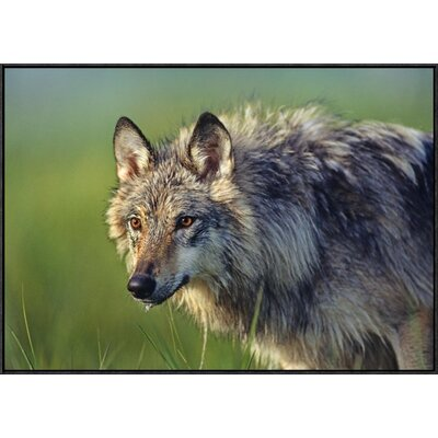 'Grey Wolf' Framed Photographic Print on Canvas URBH3807 38219672