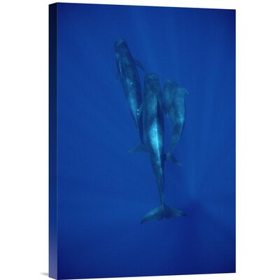 'Short-Finned Pilot Whale Trio Underwater, Hawaii' Photographic Print URBP3336 41071562
