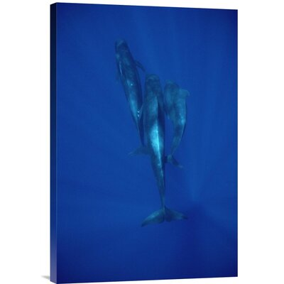 'Short-Finned Pilot Whale Trio Underwater, Hawaii' Photographic Print URBP3337 41071563