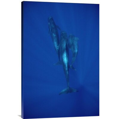 'Short-Finned Pilot Whale Trio Underwater, Hawaii' Photographic Print URBP3338 41071564