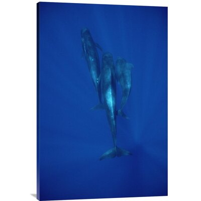 'Short-Finned Pilot Whale Trio Underwater, Hawaii' Photographic Print URBP3339 41071566