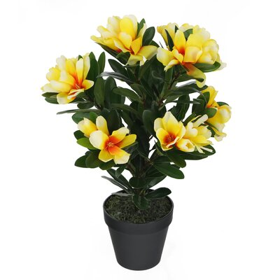 Image of Floor Alpine Rhododendron Plant in Pot