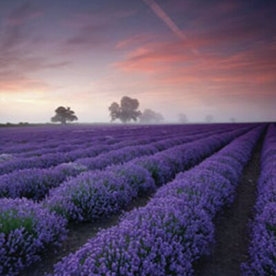 'Lavender Field-Dawn' Framed Photographic Print Poster
