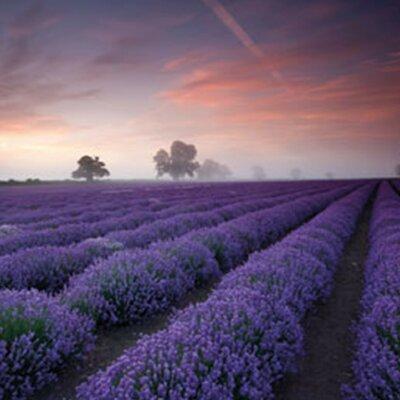 'Lavender Field-Dawn' Framed Graphic Art Print Poster Format: Black Wood Framed